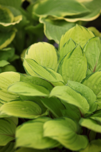 Bilde av Hosta 'Rainforest Sunrise'